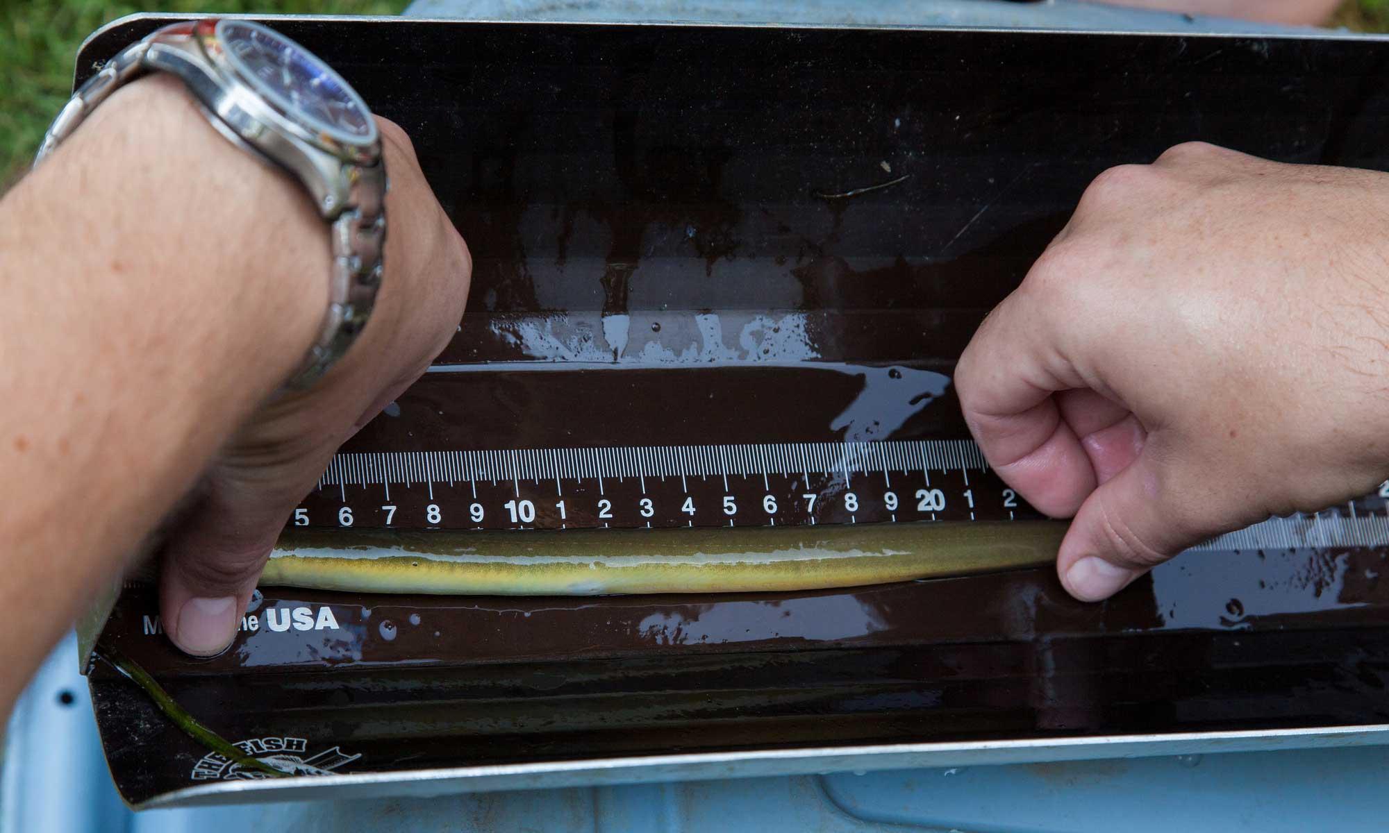 Measuring an American eel