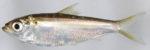 Alewife (Alosa pseudoharengus)
