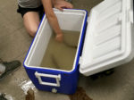A student reaches for a live lamprey in a cooler
